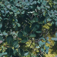 Leaves: Salix arctophila. ~ By Arthur Haines. ~ Copyright © 2020. ~ arthurhaines[at]wildblue.net