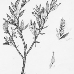 Plant form: Salix argyrocarpa. ~ By Tess Feltes. ~  Public Domain. ~  ~ U. of New Hampshire