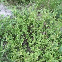 Plant form: Salix aurita. ~ By Robert Vid_ki. ~ Copyright © 2021 CC BY-NC 3.0. ~  ~ Bugwood - www.bugwood.org/