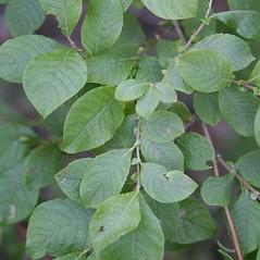 Leaves: Salix aurita. ~ By Robert Vid_ki. ~ Copyright © 2021 CC BY-NC 3.0. ~  ~ Bugwood - www.bugwood.org/