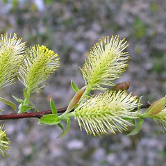 Flowers: Salix bebbiana. ~ By Arthur Haines. ~ Copyright © 2021. ~ arthurhaines[at]wildblue.net