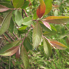 Leaves: Salix bebbiana. ~ By Marilee Lovit. ~ Copyright © 2021 Marilee Lovit. ~ lovitm[at]gmail.com