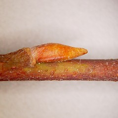 Winter buds: Salix bebbiana. ~ By Arthur Haines. ~ Copyright © 2020. ~ arthurhaines[at]wildblue.net