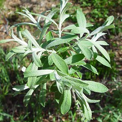 Plant form: Salix candida. ~ By Arthur Haines. ~ Copyright © 2021. ~ arthurhaines[at]wildblue.net