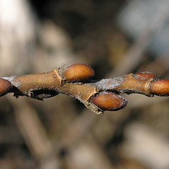 Winter buds: Salix candida. ~ By Bruce Patterson. ~ Copyright © 2021 Bruce Patterson. ~ foxpatterson[at]comcast.net