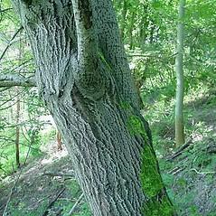 Bark: Salix caprea. ~ By Leo Michels. ~  Public Domain. ~  ~ Imagines Plantarum - www.imagines-plantarum.de/