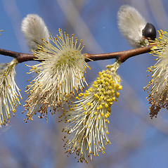Flowers: Salix caprea. ~ By David G. Smith. ~ Copyright © 2021. ~ dgsmith3[at]gmail.com ~ Delaware Wildflowers - delawarewildflowers.org/