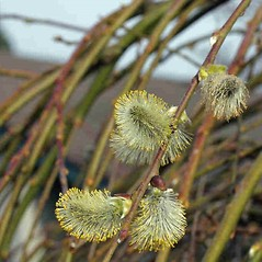 Flowers: Salix caprea. ~ By Charles Brun. ~ Copyright © 2021. ~ brunc[at]wsu.edu ~ Pacific Northwest Plants - www.pnwplants.wsu.edu/