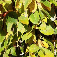 Leaves: Salix caprea. ~ By Charles Brun. ~ Copyright © 2021. ~ brunc[at]wsu.edu ~ Pacific Northwest Plants - www.pnwplants.wsu.edu/