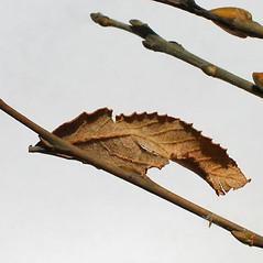Winter buds: Salix cinerea. ~ By Alexey Zinovjev. ~ Copyright © 2020. ~ webmaster[at]salicicola.com ~ Salicicola - www.salicicola.com/