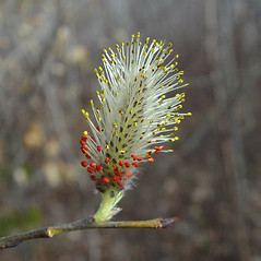 Flowers: Salix discolor. ~ By Arthur Haines. ~ Copyright © 2021. ~ arthurhaines[at]wildblue.net