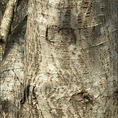 Bark: Salix elaeagnos. ~ By Amadej Trnkoczy. ~ Copyright © 2020 Amadej Trnkoczy. ~ amadej.trnkoczy[at]siol.net ~ CalPhotos - calphotos.berkeley.edu/flora/