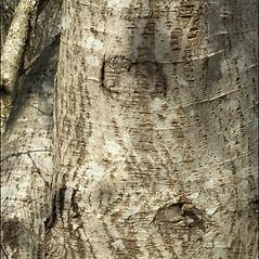 Bark: Salix elaeagnos. ~ By Amadej Trnkoczy. ~ Copyright © 2021 Amadej Trnkoczy. ~ amadej.trnkoczy[at]siol.net ~ CalPhotos - calphotos.berkeley.edu/flora/