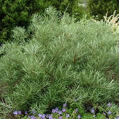Plant form: Salix elaeagnos. ~ By Paul S. Drobot. ~ Copyright © 2021 Paul S. Drobot. ~ www.plantstogrow.com, www.plantstockphotos.com ~ Robert W. Freckmann Herbarium, U. of Wisconsin-Stevens Point
