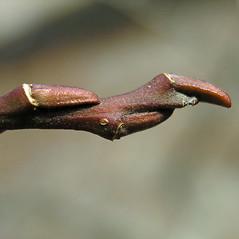 Winter buds: Salix elaeagnos. ~ By Bruce Patterson. ~ Copyright © 2021 Bruce Patterson. ~ foxpatterson[at]comcast.net