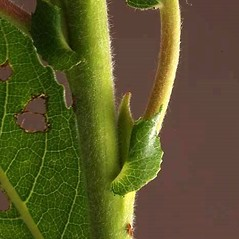 Bark: Salix eriocephala. ~ By Andrew Nelson. ~ Copyright © 2021 Andrew Nelson. ~ andrew.nelson[at]oswego.edu   ~ New York Flora Atlas - newyork.plantatlas.usf.edu