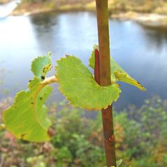 Leaves: Salix eriocephala. ~ By Donna Kausen. ~ Copyright © 2021 Donna Kausen. ~ 33 Bears Den, Addison, ME 04606