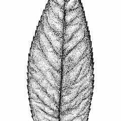 Leaves: Salix eriocephala. ~ By Elizabeth Farnsworth. ~ Copyright © 2021 New England Wild Flower Society. ~ Image Request, images[at]newenglandwild.org