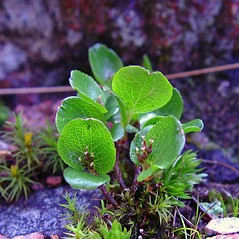 Leaves: Salix herbacea. ~ By Arthur Haines. ~ Copyright © 2020. ~ arthurhaines[at]wildblue.net
