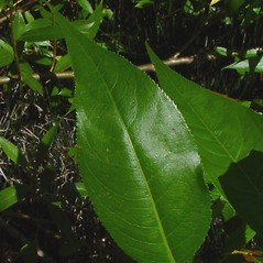 Leaves: Salix lucida. ~ By Arthur Haines. ~ Copyright © 2021. ~ arthurhaines[at]wildblue.net