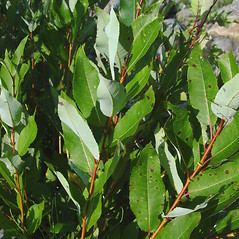 Leaves: Salix myricoides. ~ By Donald Cameron. ~ Copyright © 2021 Donald Cameron. ~ No permission needed for non-commercial uses, with proper credit