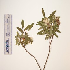 Plant form: Salix pedicellaris. ~ By Donald Cameron. ~ Copyright © 2020 Donald Cameron. ~ No permission needed for non-commercial uses, with proper credit