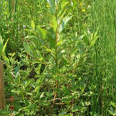Plant form: Salix pedicellaris. ~ By Vermont Nongame & Natural Heritage Program. ~ Copyright © 2021 Vermont Nongame & Natural Heritage Program. ~ Bob.Popp[at]state.vt.us ~ Vt Nongame & Natural Heritage Program