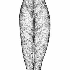 Leaves: Salix pedicellaris. ~ By Elizabeth Farnsworth. ~ Copyright © 2021 New England Wild Flower Society. ~ Image Request, images[at]newenglandwild.org