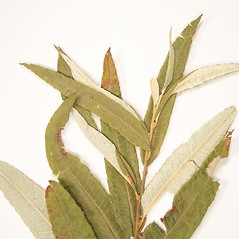 Leaves: Salix pellita. ~ By Donald Cameron. ~ Copyright © 2021 Donald Cameron. ~ No permission needed for non-commercial uses, with proper credit