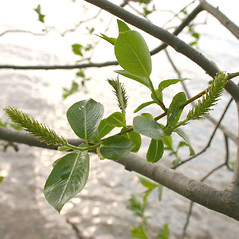 Flowers: Salix pentandra. ~ By Steve Garske. ~ Copyright © 2020 Steve Garske. ~ asimina[at]alphacomm.net