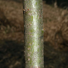 Bark: Salix petiolaris. ~ By Keir Morse. ~ Copyright © 2021 Keir Morse. ~ www.keiriosity.com ~ www.keiriosity.com