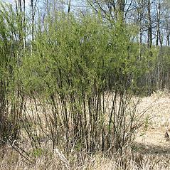 Plant form: Salix petiolaris. ~ By Keir Morse. ~ Copyright © 2021 Keir Morse. ~ www.keiriosity.com ~ www.keiriosity.com