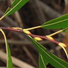 Winter buds: Salix petiolaris. ~ By Alexey Zinovjev. ~ Copyright © 2021. ~ webmaster[at]salicicola.com ~ Salicicola - www.salicicola.com/