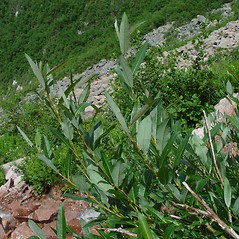 Plant form: Salix planifolia. ~ By Arthur Haines. ~ Copyright © 2021. ~ arthurhaines[at]wildblue.net