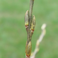 Winter buds: Salix purpurea. ~ By Arthur Haines. ~ Copyright © 2020. ~ arthurhaines[at]wildblue.net