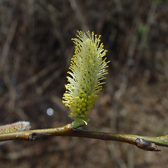 Flowers: Salix sericea. ~ By Arthur Haines. ~ Copyright © 2021. ~ arthurhaines[at]wildblue.net