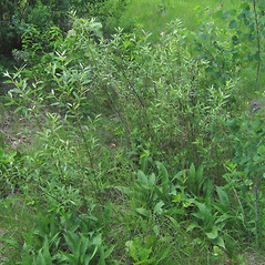 Plant form: Salix sericea. ~ By Alexey Zinovjev. ~ Copyright © 2020. ~ webmaster[at]salicicola.com ~ Salicicola - www.salicicola.com/