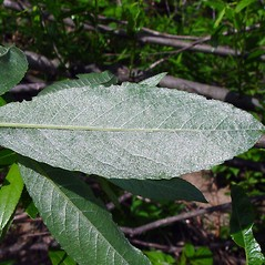 Leaves: Salix sericea. ~ By Arthur Haines. ~ Copyright © 2020. ~ arthurhaines[at]wildblue.net