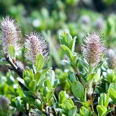 Flowers: Salix uva-ursi. ~ By Ben Kimball. ~ Copyright © 2019 Ben Kimball. ~ alpinefin[at]comcast.net