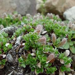 Plant form: Salix uva-ursi. ~ By Arthur Haines. ~ Copyright © 2021 Arthur Haines. ~ arthur.d.haines[at]gmail.com