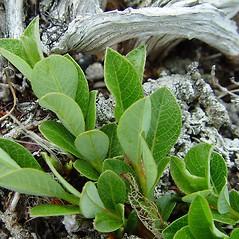 Leaves: Salix uva-ursi. ~ By Arthur Haines. ~ Copyright © 2021. ~ arthurhaines[at]wildblue.net