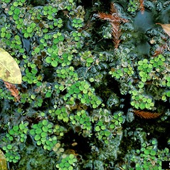 Plant form: Salvinia minima. ~ By Barry Rice. ~ Copyright © 2020 CC BY-NC 3.0. ~  ~ Bugwood - www.bugwood.org/