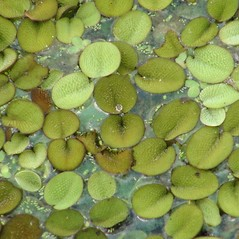 Plant form: Salvinia minima. ~ By Joseph LaForest. ~ Copyright © 2020 CC BY-NC 3.0. ~  ~ Bugwood - www.bugwood.org/