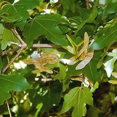 Fruits: Acer campestre. ~ By Paul S. Drobot. ~ Copyright © 2020 Paul S. Drobot. ~ www.plantstogrow.com, www.plantstockphotos.com ~ Robert W. Freckmann Herbarium, U. of Wisconsin-Stevens Point