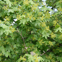 Plant form: Acer campestre. ~ By Robert Vid_ki. ~ Copyright © 2019 CC BY-NC 3.0. ~  ~ Bugwood - www.bugwood.org/