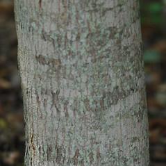 Bark: Acer ginnala. ~ By Karan Rawlins. ~ Copyright © 2019 CC BY-NC 3.0. ~  ~ Bugwood - www.bugwood.org/
