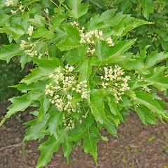 Flowers: Acer ginnala. ~ By Charles Brun. ~ Copyright © 2019. ~ brunc[at]wsu.edu ~ Pacific Northwest Plants - www.pnwplants.wsu.edu/