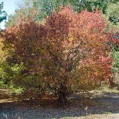 Plant form: Acer ginnala. ~ By Paul S. Drobot. ~ Copyright © 2019 Paul S. Drobot. ~ www.plantstogrow.com, www.plantstockphotos.com ~ Robert W. Freckmann Herbarium, U. of Wisconsin-Stevens Point