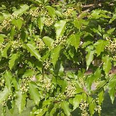 Plant form: Acer ginnala. ~ By Charles Brun. ~ Copyright © 2019. ~ brunc[at]wsu.edu ~ Pacific Northwest Plants - www.pnwplants.wsu.edu/
