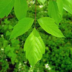 Leaves: Acer negundo. ~ By Arthur Haines. ~ Copyright © 2019. ~ arthurhaines[at]wildblue.net